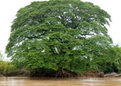 Gros arbre et petit bateau au Laos