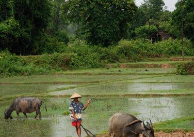 Paysan et buffle dans un champs a don det au Laos