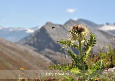 Fleur et abeille au col de l'iseran